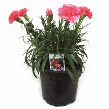 Dianthus P13.2