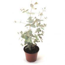 eucalyptus-gunnii-silverdrop-l9301-6