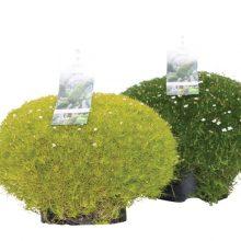 Lime-Moss-46115-P13
