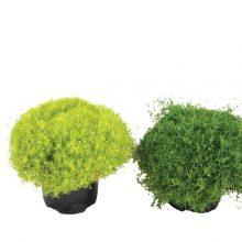 Lime-Moss-46115-P15