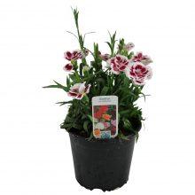 Dianthus P13