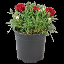 Dianthus P15