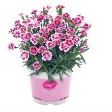 dinthus pink Kisses P11