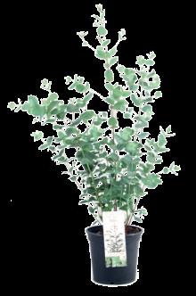 Eucalyptus_13
