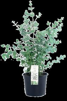 Eucalyptus_17