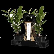 ice-tea-3-pack_plants